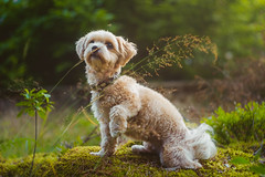 Little Kippie (Naetrogen) Tags: travelling portrait pets dog puppy forest summer sunset flowers mosquito family love europe helios442 helios fuji fujinordic fujifilm pose cute beautiful xt1 sweden karlstad