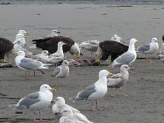 HomerArea31 (alicia.garbelman) Tags: alaska beach ocean birds anchorriverstaterecreationarea kenaipeninsula baldeagles seagulls wildlife