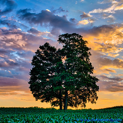 100 Days of Summer #44 - Oak Tree (elviskennedy) Tags: county door blue sunset sky orange tree green field leaves pine wisconsin clouds landscape outside evening us leaf maple oak corn unitedstates nimbus outdoor branches sony scenic elvis lakemichigan cumulus farmer elm wi kennedy doorcounty nightfall cirrus jacksonport sturgeonbay rx1 troots wwwelviskennedycom elviskennedy rx1r rx1rii rx1rm2 dscrx1rm2