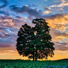 100 Days of Summer #44 - Oak Tree (elviskennedy) Tags: county door blue sunset sky orange tree green field leaves pine wisconsin clouds landscape outside evening us leaf maple oak corn unitedstates nimbus outdoor branches sony scenic elvis lakemichigan cumulus farmer elm wi kennedy doorcounty nightfall cirrus jacksonport sturgeonbay rx1 troots wwwelviskennedycom elviskennedy rx1r rx1rii rx1rm2 dscrx1rm2