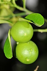 sapote (ebony persimmon) (DOLCEVITALUX) Tags: plants fruits fruit fauna flora outdoor philippines medicinalplants sapote bonypersimmon