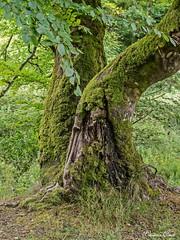 (Cristina Ovede) Tags: airelibre planta rbol paisaje bosque selvadeirati musgo