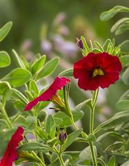 Calibrachoa Flowers (mahar15) Tags: plant blooms flowers nature flower calibrachoa outdoors summer red redflower