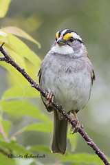 Bruant  Gorge blanche, White-throated Sparrow (Claudette Archambault) Tags: whitethroatedsparrow bruantgorgeblanche