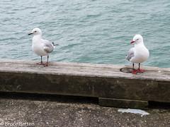 160803 Auckland-02.jpg (Bruce Batten) Tags: shadows locations southpacificocean trips occasions oceansbeaches subjects birds animals vertebrates businessresearchtrips tasmansea newzealand auckland nz