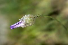 Hierba de cupido (Anvica) Tags: flor flower naturaleza nature aproximacin closeup planta fuji x100 hierbadecupido