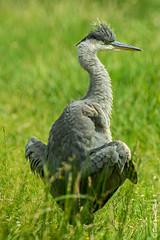 K3_39929_1_2048px (DJvL) Tags: amsterdame waterleiding duinen wildlife birds outdoor pentax k3 hddfa150450