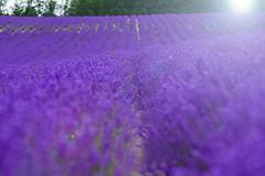 lavender field (tomoko mori) Tags: flower purple landscape furano japan tamron 90mm light bokeh flare hokkaido