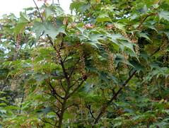 Acer micranthum Sieb. & Zucc. 1870 (SAPINDACEAE) (helicongus) Tags: acermicranthum acer sapindaceae jardnbotnicodeiturraran spain