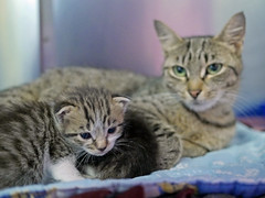 Mama & Babies_08 (AbbyB.) Tags: mtpleasantanimalshelter easthanovernj newjersey shelter pet rescue adopt petphotography shelterpet cat kitten momandkittens babies kitty