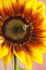 Sunflower (Doolallyally) Tags: sunflower flower bee devon england