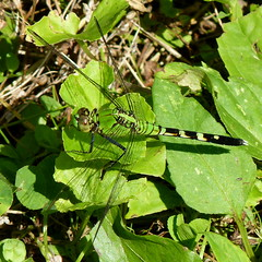 Eastern Pondhawk (Dendroica cerulea) Tags: easternpondhawk erythemissimplicicollis erythemis libellulidae anisoptera odonata insecta hexapoda arthropoda dragonfly skimmer odonate insects invertebrate meadow summer americanrevolution revolutionarywar princetonbattlefieldstatepark princeton mercercounty nj newjersey