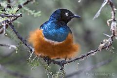 Storno superbo, Superb Starling, Lamprotornis superbus (paolo.gislimberti) Tags: tanzania tarangire uccelli birds ritrattoanimale animalportrait