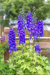 Guardian Blue Delphinium *4* (Zo Power) Tags: flowers summer june purple whitebackground mygarden delphinium guardianbluedelphinium