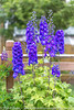 Guardian Blue Delphinium *4* (Zoë Power) Tags: flowers summer june purple whitebackground mygarden delphinium guardianbluedelphinium