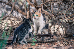 Love (Vagelis Pikoulas) Tags: cat cats animal animals canon 6d tamron 70200mm vc dof bokeh summer 2016 july vilia greece europe