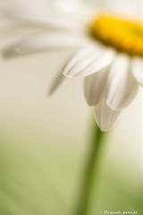 Douceur! (pascaleforest) Tags: marguerite petale nikon passion macro flower fleur