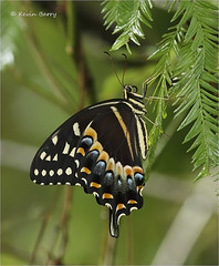 Palamedes Swallowtail seeking shelter from rain (Kevin B Photo) Tags: kevinbarry palamedesswallowtail rain fakahatcheestrandpreservestatepark colliercountyflorida vertical nature native natural summer summertime afternoon canon macro closeup color colorful day daytime