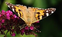 Vanessa cardui (Hugo von Schreck) Tags: vanessacardui butterfly macro makro outdoor schmetterling insect insekt falter distelfalter hugovonschreck canoneos5dsr tamron28300mmf3563divcpzda010 yourbestoftoday