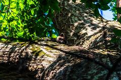 blending in (david_sharo) Tags: davidsharo nature wildlife racoons trees telephoto