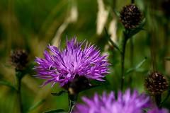 Common Knapweed (chris_o_hughes) Tags: commonknapweed centaureanigra wildflower uk purple windrush rusheycommon chrishughesnoggin
