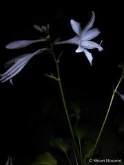Hosta sieboldii (Shiori Hosomi) Tags: 2916 august japan tokyo 23     flowers plants       asparagales asparagaceae hosta    flowersinthenight nightshot noctivagant noctuary nocturnal night