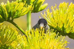 Big Meal Time (satochappy) Tags: noisyminer yellow flower bird    sydney nsw australia australianbird googlyeyes pretty agave centuryplant plant