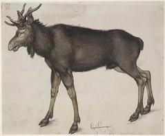 An Elk (lluisribesmateu1969) Tags: 16thcentury drer notonview britishmuseum london