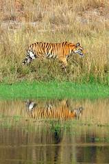 DSC_3414 (ajwhitehead1979) Tags: bengaltiger bhandavgarh india royalbengaltiger tiger