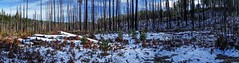 Panoramic View of Forest Fire Aftermath in Winter east of Fall Creek Reservoir, Oregon (mharrsch) Tags: landscape forest forestfire burned panorama oregon fallcreek snow winter mharrsch