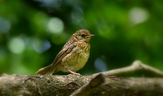 Young Robin (jump for joy2010) Tags: baby juvenile fledgling robin erithacusrubecula woodland kingscliff northpetherton bokeh cute july uk england somerset 2016 nature wildlife bird