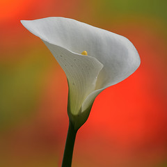 calla (5348 Franco) Tags: excellence calla