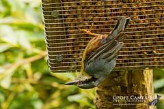 Nuthatch (Sitta europaea) (gcampbellphoto) Tags: sittaeuropaea nuthatch bird avian scotland wildlife gcampbellphoto