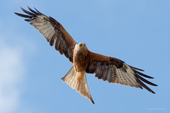 Red Kite (JustinTheWild) Tags: wildlife avian red kite witney uk england oxforshire canon 5d2 500mm sunny blue skies soaring feathers flight bird prey summer