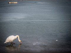 Schwan auf Eis (olipennell) Tags: breitenauersee eis schwan see vogel wasser wasservogel obersulm badenwrttemberg deutschland de lake swan ice winter bird