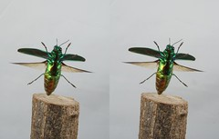 Chrysochroa fulgidissima, stereo cross view (Mushimizu) Tags: chrysochroafulgidissima   jewelbeetle stereo 3d cross