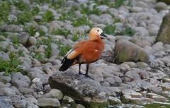 Ruddy Shelduck (praja38) Tags: life uk wild england lake bird london nature water rock bill duck pond wildlife wing beak feathers humour shore waterfowl capricorn boatinglake shelduck ruddyshelduck