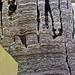 Stromatolitic limestone (Chencha Formation, upper Neoproterozoic, 580 Ma; Patom Upland, Siberia, Russia) 4