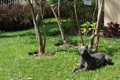 Peruvian Hairless Dog (koukat) Tags: dog peru san lima hairless isidro miraflores barranco peruvian huaca huallamarca