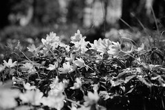 BW400CN - Monsteras - Vitsippor (manuel ek) Tags: bw white flower film nature analog forest 50mm nikon kodak anemone analogue nikonf3 bw400cn f3hp