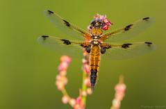 Nerveuse 2 (EXPLORE) (stephanegachet) Tags: france macro canon insect dragonfly bretagne morbihan insecte libellule finistère gachet 300f4 stephanegachet