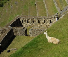 Peru (Machu Picchu) A lovely location to sit for Llama (ustung) Tags: peru animal landscape llama location machupicchu