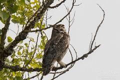 Great Horned Owl gets pestered