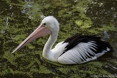 Hangry (Beth Madigan) Tags: bird animal zoo pelican angry wellington northisland wellingtonzoo angrybird