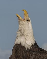 Eagle (JME_Photos) Tags: