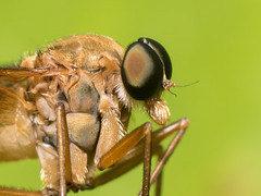 Snipe Fly portrait (slo.Metallc) Tags: macro fly sony insects bugs flies robberfly tamron 90mm tamronspaf90mmf28di a77ii a77mkii ilca77m2 a77mk2 sonyilca77m2