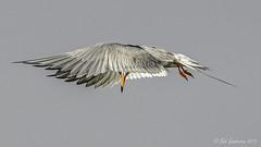 Forster's Tern (Bob Gunderson) Tags: california birds northerncalifornia southbay santaclaracounty terns forsterstern sternaforsteri shorelinelake canoneos7dmarkii