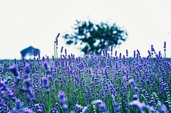 Poland - lavander field, summertime blues, simply to disappear (Smo_Q) Tags: blue summer tree poland lonely pentaxk5 bloominglavendertime