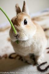 IMG_7338-1 (Rabbit's Album) Tags: pet cute rabbit bunny animals coco    netherlanddwarf    canonx7i x7i efs24mmf28stm