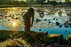 Collecting lotus flowers (Picha Gallery) Tags: temple cambodia angkorwat siemreap bayon lotusflower lotuspond artisansdangkor